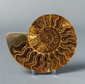 ammonite fosil ➤ Ayuda al comprar con LIBRERIAESOTERICA.NET