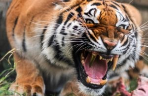 ➤ tigre ojos Ayuda para comprar en LIBRERIAESOTERICA.NET
